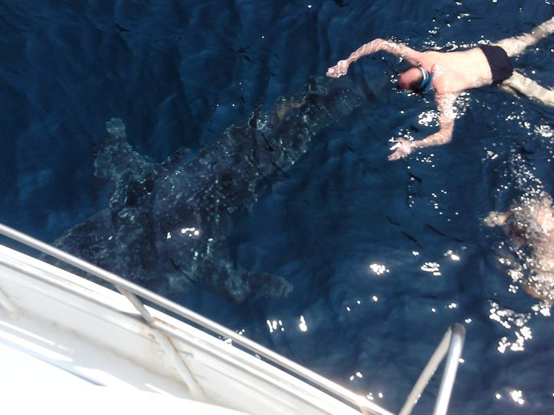 Walhai an den Koh Ha Inseln